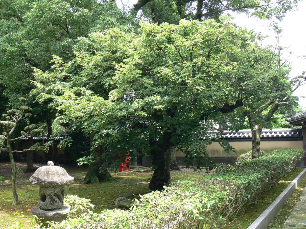 開山堂菩提樹